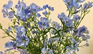 デルフィニウム優しい友のような清楚な花 photo by fumiko