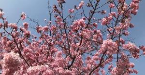 大垣駅北口の桜
