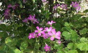 ツゲの木と紫カタバミ